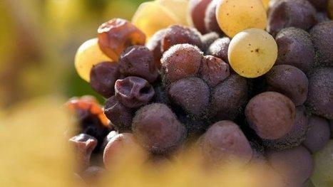 Viticulture : vers une très mauvaise récolte 2016 - France 3 Centre-Val de Loire | Agriculture en Dordogne | Scoop.it