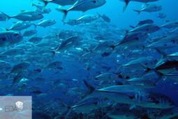 Warren Thila: Shark Diving in the Maldives - Dive Maldives | Scuba Diving | Scoop.it