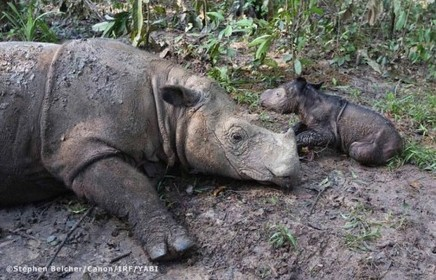 It's a girl: rare rhino gives birth to second calf in Sumatra | Conservation Success | Scoop.it