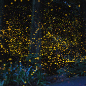 An incredible, time-lapse vision of fireflies in the wild | Spontaneous Smiley | Scoop.it