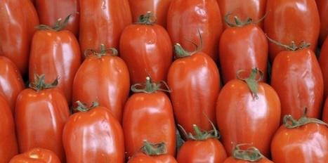 Tomate : à la recherche du goût perdu | love this planet | Scoop.it
