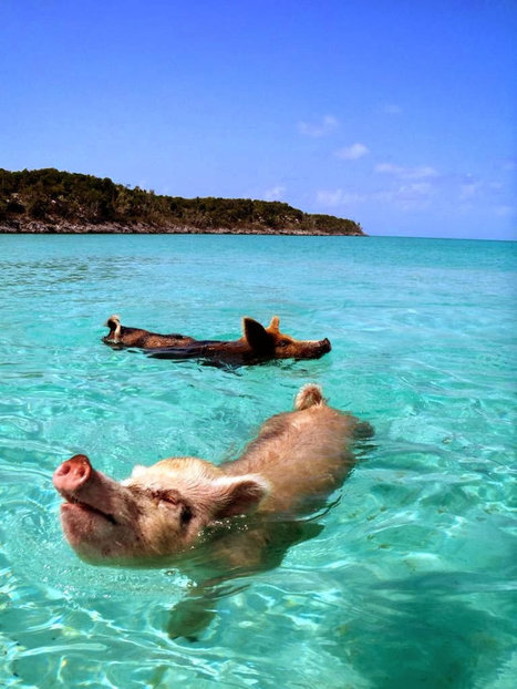 Bahamas Vacation Spots Are Also Home To Swimming Pigs | Nature : beauty, beasts and curiosities... | Scoop.it