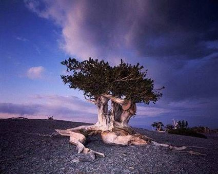 The world's 10 oldest living trees | Biodiversity protection | Scoop.it
