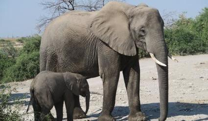 Two Zim baby elephants die before shipment to China | IOL | Animal welfare | Scoop.it