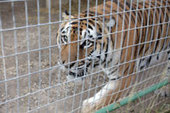 The sad tale of Tony the 'Truck Stop Tiger'   Animals R Us   Scoop.it