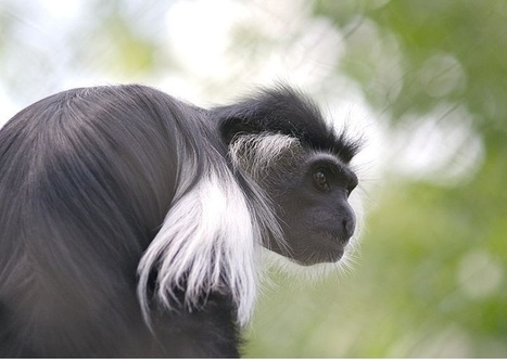 What you need to know about The Colobus Monkey | Human-Wildlife Conflict: Who Has the Right of Way? | Scoop.it