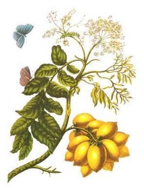 Spondia_purpurea L. | Ciruela (Spondias Purpurea L.) | Scoop.it