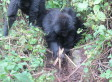 Really Great Apes: Gorillas Seen Destroying Poachers' Snares In Rwanda | The Wild Planet | Scoop.it