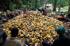 Cocoa farmers complain of cheating - GhanaWeb | Fairly Traded News | Scoop.it