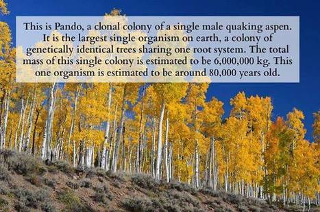 Pando quaking aspen in Utah | Chris' Regional Geography | Scoop.it