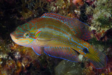 Ce petit poisson est surprenant : il a su s'adapter à l'acidification des océans   Surprenante vie sous-marine   Scoop.it