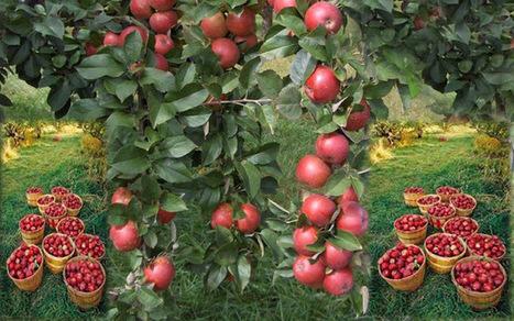 Apple Season in Full Bloom in Kullu-Manali | ARV Holidays Pvt. Ltd. | Scoop.it