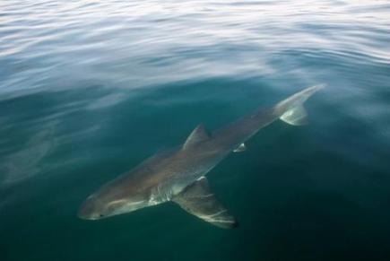 Le grand requin blanc n'est pas en danger d'extinction dans le Nord-Est Pacifique | Requins | Scoop.it