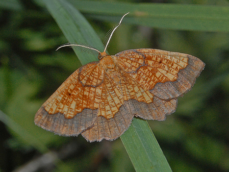 Rare Moth Numbers Tumble - Conservation Articles & Blogs - CJ | Wildlife and Conservation | Scoop.it