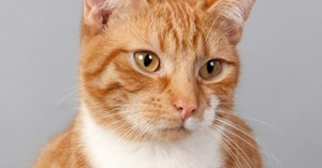 Exploring the 5 Different Patterns of Tabby Cats   Pets   Scoop.it