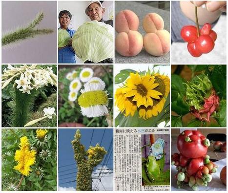 Fukushima : Les transformations inquiétantes des légumes, fruits, fleurs et animaux exposés aux radiations | Japan Tsunami | Scoop.it