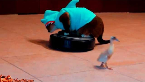 """VIDEO: Cat in Shark Costume Chases Duck to """"Jaws"""" Theme Because Why Not? 