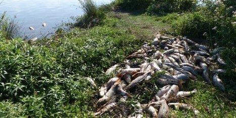 Landes : des carpes meurent par milliers au marais d'Orx - Sud-Ouest | Actualités écologie | Scoop.it