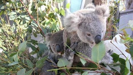 Plantation of 9200 eucalypts has been created in western Sydney to feed Taronga Zoo's koalas | Australian Plants on the Web | Scoop.it