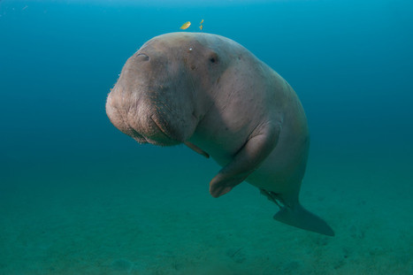 Sauver le dugong de Nouvelle-Calédonie, mission possible ! | Biodiversité | Scoop.it