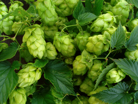 Hops for Hot Flashes, Weight Loss and Cancer Prevention | Natural Health | Scoop.it