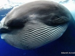 Alien-like creature is a feeding Bryde's whale | GrindTV.com | Indigo Scuba | Scoop.it