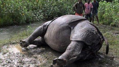 Nepal police arrest 14 for rhino poaching | Poaching & Wildlife Crime | Scoop.it