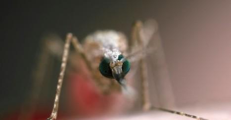 Des moustiques génétiquement modifiés pour combattre le paludisme | EntomoNews | Scoop.it