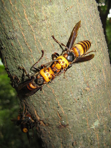 Asian Giant Hornets Coming to the UK. Should We Be Worried?   pest control   Scoop.it