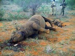 Eleven rhino poached in Kwazulu Natal | What's Happening to Africa's Rhino? | Scoop.it