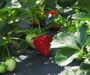 Berry toxic: Decoding the organic strawberry debacle | Food issues | Scoop.it