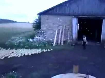 Got To Watch This! Man Marches Ducks Into A Barn Like A Drill Sergeant. | HotHotter | Scoop.it