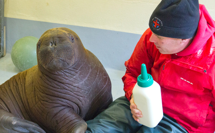 Fishermen Find Lost Baby Walrus, Now Safe at SeaLife Center | enjoy yourself | Scoop.it