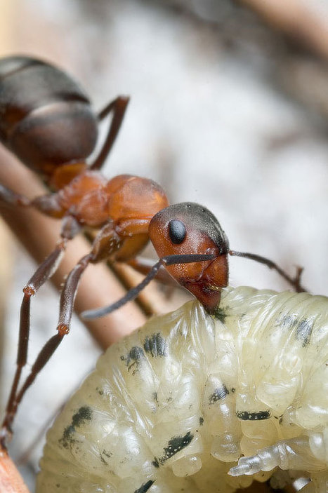 Macro Photography Inspiration: Interesting Ants' Photos | Xposed | Scoop.it