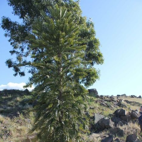 Precious Wollemi pine trees flourishing at the National Arboretum | QTRA | Scoop.it