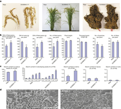 Expression of barley SUSIBA2 transcription factor yields high-starch low-methane rice : Nature : Nature Publishing Group | Agrarforschung | Scoop.it