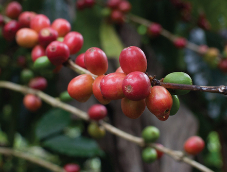 Danwatch Casts Troubling Labor Allegations in Guatemala Coffee Report | Coffee News | Scoop.it