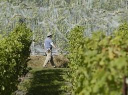 Offbeat European Grapes Growing Across the Midwest - | Grüner Veltliner & More | Scoop.it