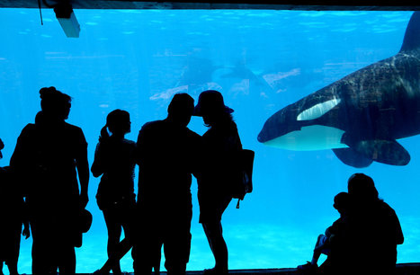 Smart, Social and Erratic in Captivity - New York Times | Honor the Orcas, Dive in! | Scoop.it