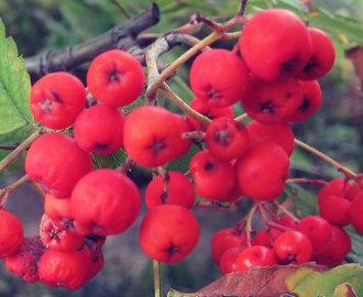 Juvenile Blackbirds Drunk on Fermented Berries | Food for Pets | Scoop.it