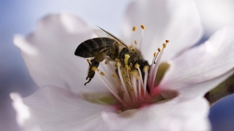 If you like almonds, the bee die-off could be very, very bad news. | Food issues | Scoop.it