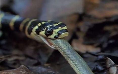 Vidéo : un cobra royal en mange un autre ! | Resolunet | Scoop.it