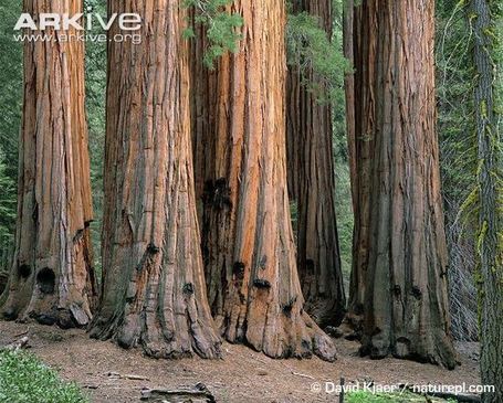 Giant Sequoia videos, photos and facts - Sequoiadendron Giganteum | Nature: Unknown Knowledge | Scoop.it