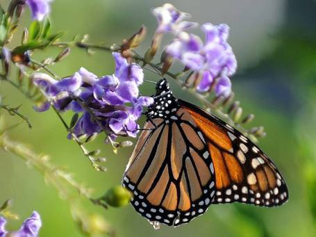 Nature Studies: Cross the Atlantic in a ship? The beautiful Monarch can do better than that | 100 Acre Wood | Scoop.it