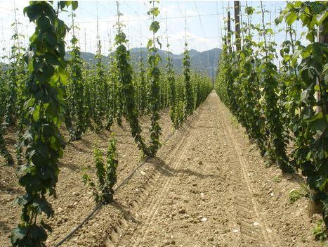 Plant Disease - First report of Hop stunt viroid infecting hop in Europe | Almanac Pests | Scoop.it