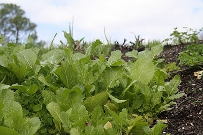 Living Green Roofs!: Green Roof Tale of Two Turnips, Rooftop Garden v. Ground Level Garden | Rooftop Permaculture & Biodiversity | Scoop.it