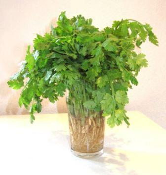 Do you love or hate Cilantro? | A Blog Around The Clock, Scientific American Blog Network | Food and Nutrition | Scoop.it