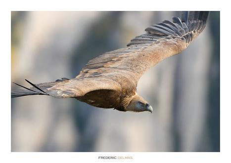 Les vautours des Grands Causses de l'Aveyron | L'info tourisme en Aveyron | Scoop.it