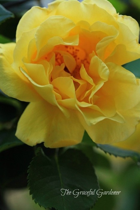 Growing my Roses—Up, Up and Away ….   The Graceful Gardener   Annie Haven   Haven Brand   Scoop.it