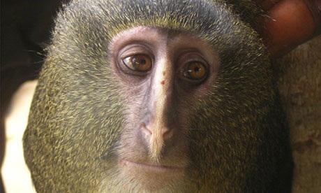 New monkey species found in Democratic Republic of Congo | Lauri's Environment Scope | Scoop.it
